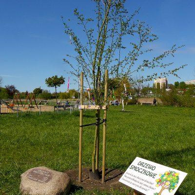 Drzewo smoczkowe w Szczecinie