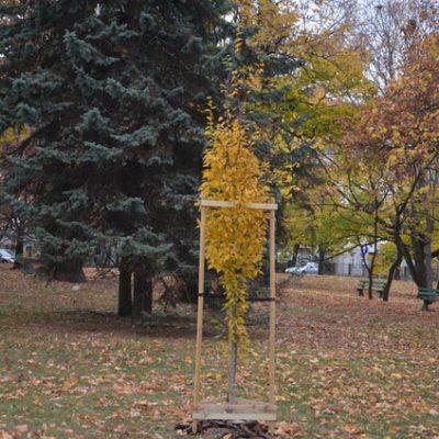 Drzewo stulecia RC Grorzow Wlkp (2)