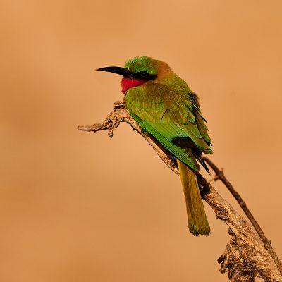 12. Żołna czerwonogardła, Gambia. (2)